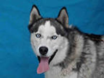 Adopt MATEO a White - with Gray or Silver Husky / Mixed dog in Downey