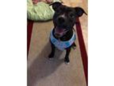Adopt Bailey/tillie a Black - with White Retriever (Unknown Type) / Mixed dog in