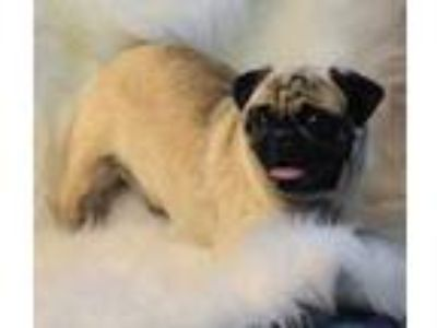 Adopt Suri a Tan/Yellow/Fawn Pug / Mixed dog in Madison, KS (25576464)