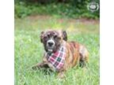 Adopt Mikayla a Brindle Shepherd (Unknown Type) / Boxer dog in Columbus