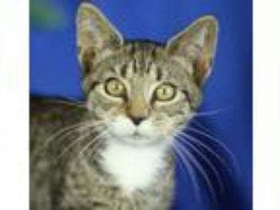 Adopt Hallie a Domestic Short Hair, Tabby