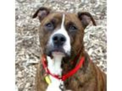 Adopt Taz a Boxer, Pit Bull Terrier