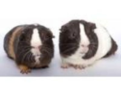 Adopt Chunky and Monkey a Guinea Pig