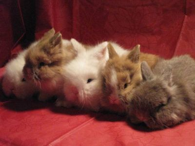 Pedigreed Lionhead Bunnies