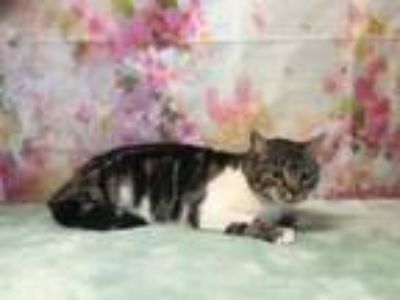 Adopt MADDY a Domestic Short Hair