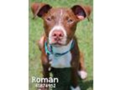 Adopt Roman a Brown/Chocolate American Pit Bull Terrier / Mixed dog in Gulfport