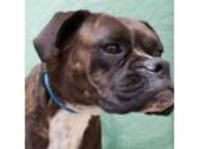 Adopt ROXY a Brindle - with White Boxer / Mixed dog in Fairfield, CA (25553226)