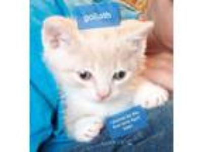 Adopt Goliath a Domestic Shorthair / Mixed (short coat) cat in Hoover
