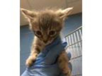 Adopt Falcon a Gray or Blue Domestic Shorthair / Domestic Shorthair / Mixed cat
