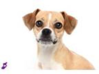 Adopt BIRDIE a Beagle, Mixed Breed