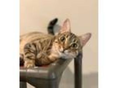 Adopt Marcia a Tabby, Domestic Short Hair
