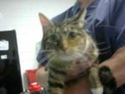 Adopt NERMAL a Calico or Dilute Calico Domestic Shorthair / Mixed (short coat)