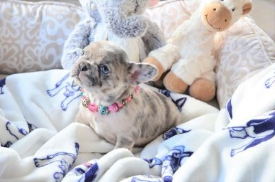 French Bulldog PUPPY FOR SALE ADN-102243 - Blue Merle Female Faith