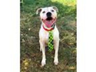 Adopt Cleo The Man a White - with Black Boxer / Staffordshire Bull Terrier dog