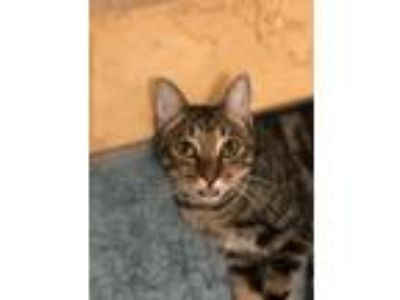 Adopt Milano a Spotted Tabby/Leopard Spotted Bengal cat in Orlando