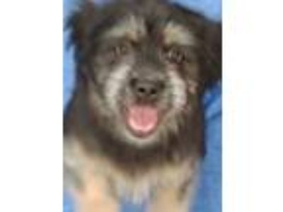 Adopt Kwinn a Black - with White Terrier (Unknown Type, Small) / Mixed dog in