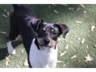 Adopt Logan a Rat Terrier, Labrador Retriever