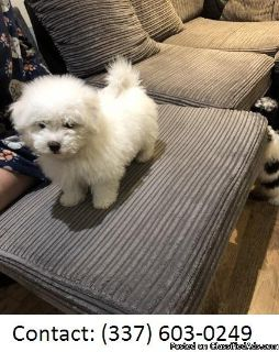 Elegant Bichon Frise Puppies