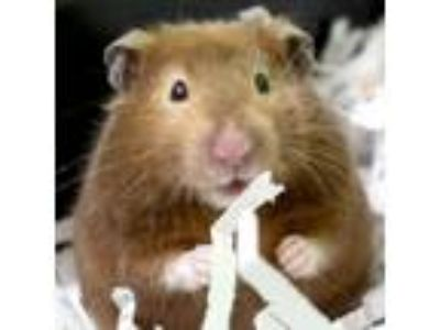 Adopt Babs a Brown or Chocolate Hamster (short coat) small animal in Jefferson