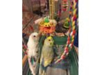 Adopt Penelope and JJ a Parakeet (Other)