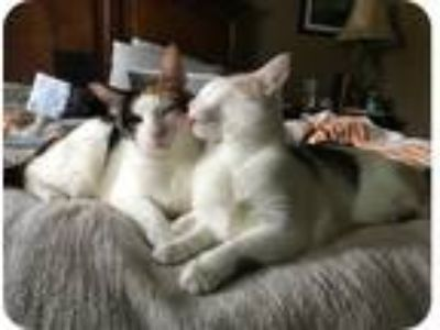 Adopt Khali a Calico or Dilute Calico Calico / Mixed cat in Davie, FL (23526437)