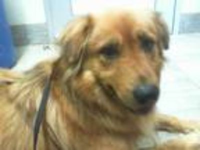 Adopt BUDDY a Brown/Chocolate Golden Retriever / Mixed dog in Grand Prairie