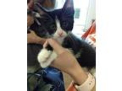 Adopt A790798 a Domestic Short Hair