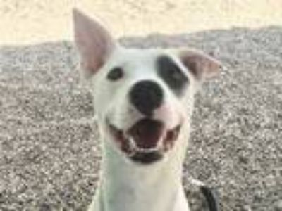 Adopt TESSA a White - with Black American Pit Bull Terrier / Mixed dog in Ames