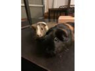 Adopt Charlie and Bella a Guinea Pig small animal in Fullerton, CA (24808533)