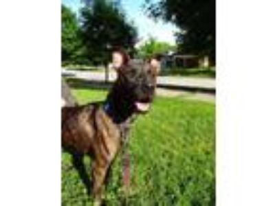 Adopt Cricket a Pit Bull Terrier