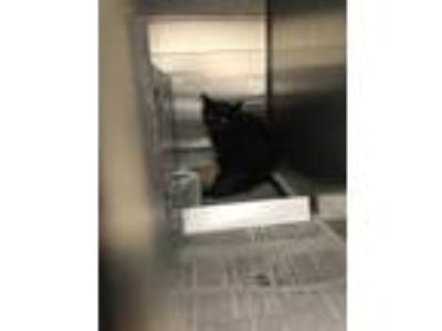 Adopt Bob a All Black Domestic Mediumhair / Domestic Shorthair / Mixed cat in