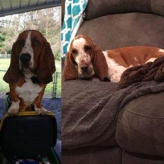 Basset Hound PUPPY FOR SALE ADN-87813 - Basset Hound Puppies