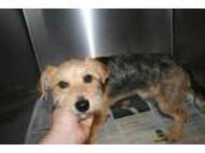 Adopt a Black - with Tan, Yellow or Fawn Norfolk Terrier / Border Terrier /