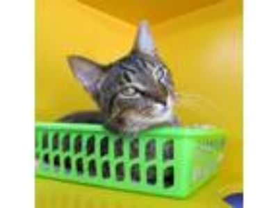 Adopt Raleigh a Brown or Chocolate Domestic Shorthair cat in Northbrook