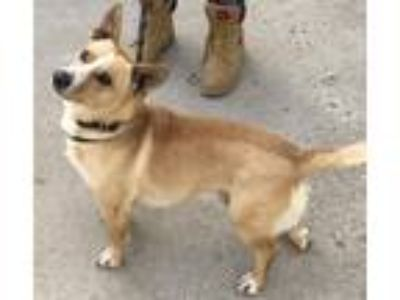 Adopt Ozzie a Corgi / Dachshund / Mixed dog in Woodstock, IL (24981074)