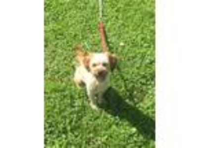 Adopt Bucky*Help I need a foster home!* a Shih Tzu, Poodle
