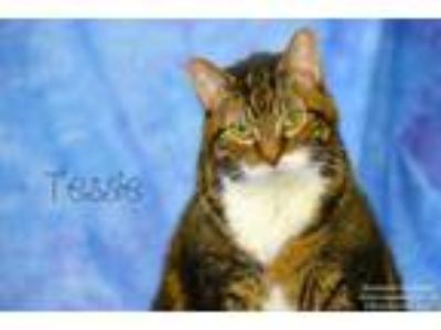 Adopt Tessie a Domestic Medium Hair, Domestic Short Hair