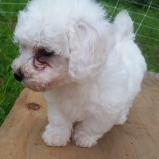 Bichon Frise PUPPY FOR SALE ADN-95523 - Gorgeous Fun loving Bichon Frise puppies