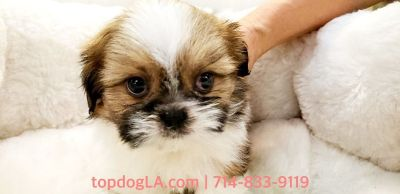 Shihtzu Puppy - Male - Brittle ($1,399)