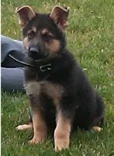 beautiful female German Shepherd puppies ready to go now