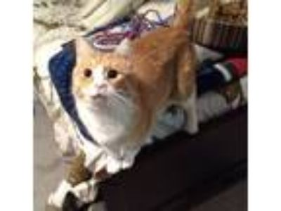 Adopt Chops a Orange or Red Domestic Shorthair / Mixed cat in Hudson Falls