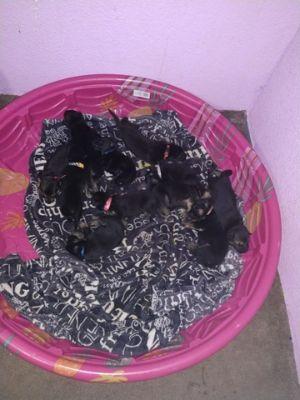 German Shepherd Dog PUPPY FOR SALE ADN-75293 - CKC REGISTERED GERMAN SHEPHERD PUPPIES