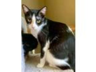 Adopt Chamicat Holdsclow young kitty a Black & White or Tuxedo Domestic