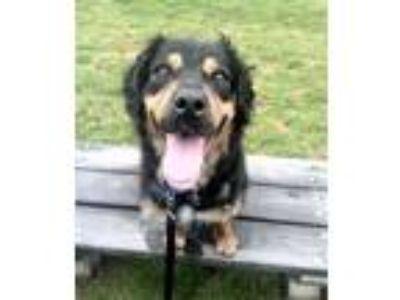 Adopt Gordon a Brown/Chocolate - with Black Bernese Mountain Dog / Rottweiler /
