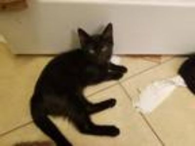 Adopt ZZ Top a All Black Domestic Shorthair / Mixed (short coat) cat in Mission