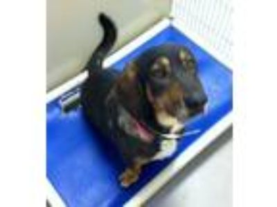 Adopt Molly 116079 a Tricolor (Tan/Brown & Black & White) Basset Hound dog in