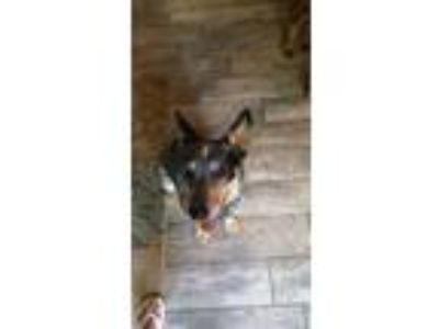 Adopt Middy a Australian Cattle Dog / Blue Heeler