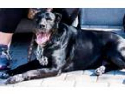 Adopt Popeye a Black - with White Labrador Retriever / Dalmatian / Mixed dog in