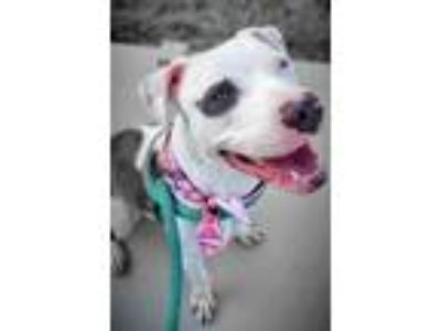 Adopt ANDREW a Pit Bull Terrier, Mixed Breed