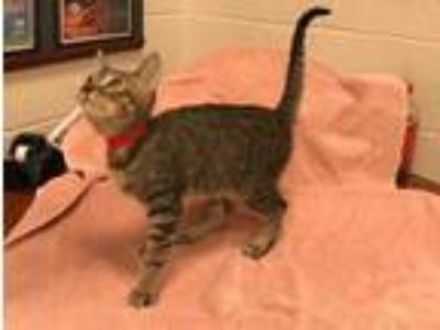 Adopt APRIL a Brown or Chocolate (Mostly) Domestic Shorthair / Mixed (short